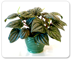 Peperomia in ceramic with Wick Lock